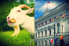 Łódzkie kozy szukają nowych właścicieli