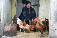Nad polskimi kurnikami wisi nie tylko widmo salmonelli, ale też ptasiej grypy.