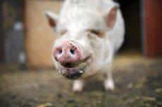 Skandal na Podlasiu - lekarz weterynarii nakazał wybicie stada świń, bez zbadania, czy rzeczywiście są zarażone ASF