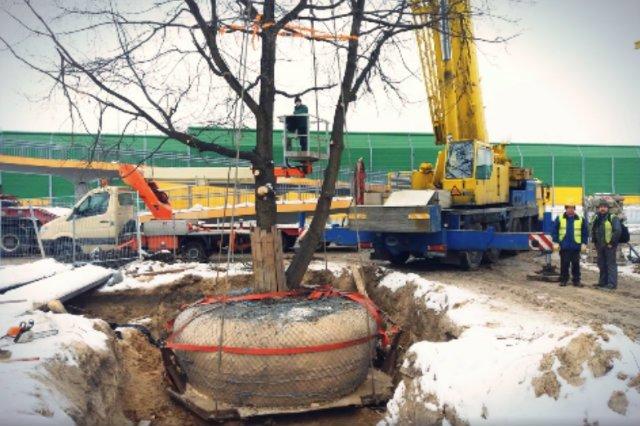 Firma Aspiracje Ogrodowe używając 90-tonowego dźwigu, przesadziła drzewo kilkadziesiąt metrów dalej