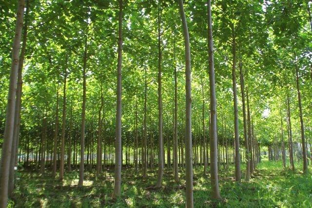 Po 6 latach drzewa dorastają do 16 m wysokości