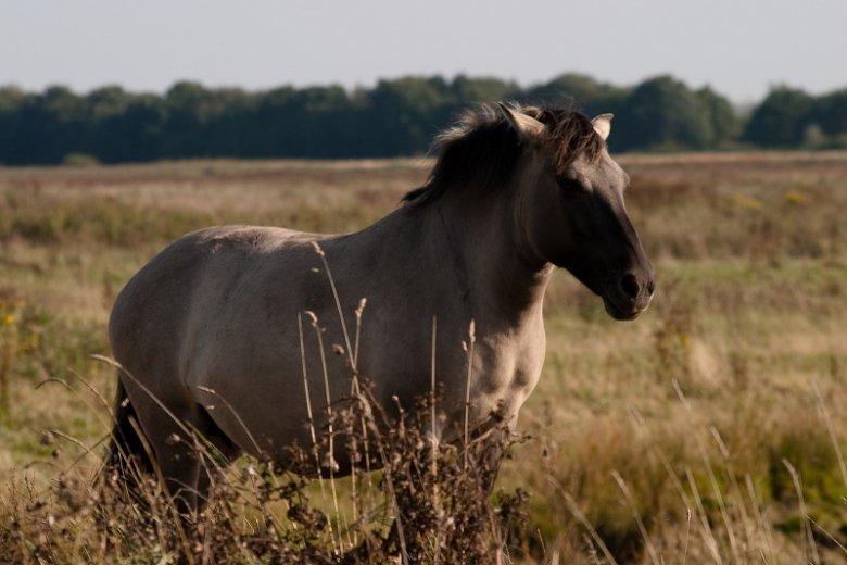 Konik Polski rasa naszych rodzimych koni, następców wymarłego tarpana.