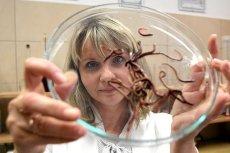 Dr Marta Fiołka z Wydziału Biologii i Biotechnologii UMCS z drogocennymi dżdżownicami. Te bezkręgowce produkują lek na raka.