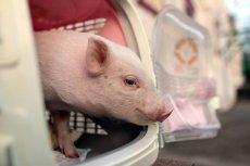 Naukowcy mają nadzieję, że w przyszłości będzie można hodować w świniach organy do przeszczepu.