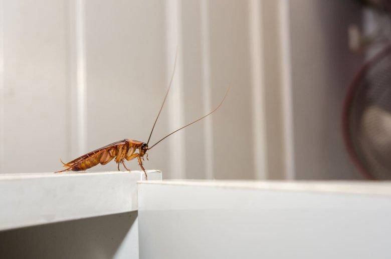 Prusaki to insekty przypominające wyglądem karaluchy. Schowały się w plastikowych butelkach, które utylizuje firma recyklingowa w Dynowie.
