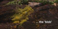 Blob - gatunek śluzowca, który zachowuj się trochę jak zwierzę, choć na pewno nim nie jest. Po raz pierwszy zostanie pokazany w Paryskim Parku Zoologicznym.