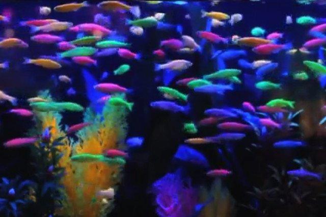 Glofish. Genetycznie modtyfikowane ryby z genami meduzy. Świecą w ciemności.