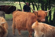 Pierwsze Highland Cattle (Szkocka Rasa Wyżynna) Łukasz Pilarski przywiózł nad Pilicę trzy lata temu