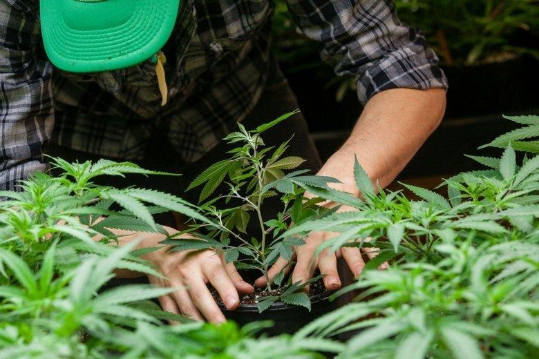 W Polsce będzie dostępna medyczna marihuana