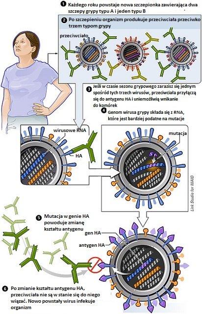 """Mechanizm """"dryftu antygenowego"""". Wirus przechodzi mutację w genie kodującym główne antygeny (hemaglutyniny lub neuraminidazy), w związku z czym nie jest rozpoznawany przez przeciwciała powstałe po zaszczepieniu."""