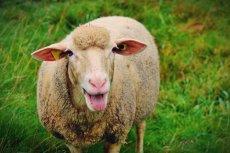 Pogłowie owiec w Polsce to dziś około 230 tysięcy: sto tysięcy mniej niż w 2007 r.
