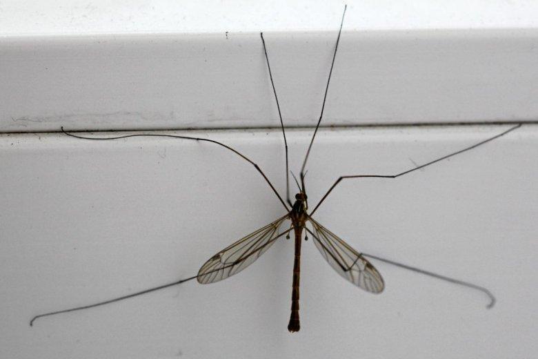 Włosi wyhodowali wysterylizowane, genetycznie zmodyfikowane samce komarów. To sposób na walkę z plagą.