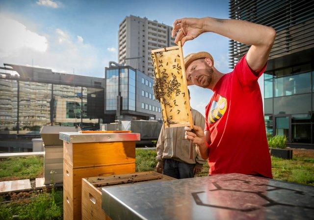 Pszczół przybyło nie także w polskich wsiach, ale i miastach