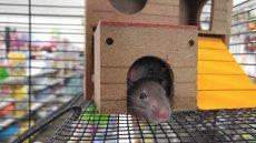 Naukowcy nauczyli szczury prowadzić prowizoryczny samochód.