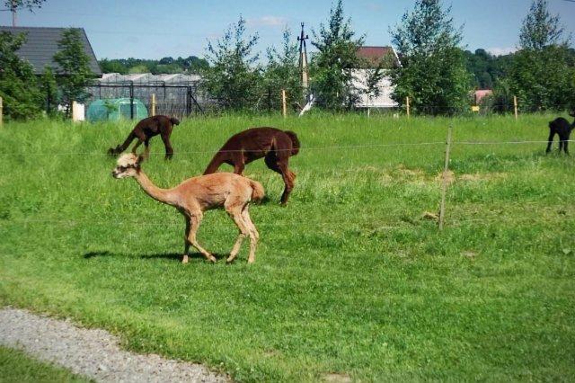 Do hodowli 30 alpak należy mieć co najmniej 1 hektar - opowiada Wierzbicki