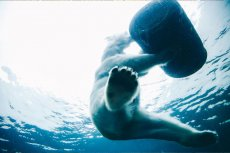 1/4 pożywienia niedźwiedzi polarnych to plastik. Misie zjadają torby, plastikowe butelki i opakowania.