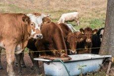 Krowy nie produkują tak pożywnego mleka jak karaluchy