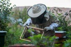 Pszczół w Polsce nie brakuje, ale i kradzieże się zdarzają.