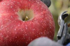 Ta nowa odmiana jabłek trafia do sprzedaży. Cosmic Crisp przetrwa w lodówce nawet rok.