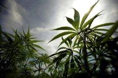 W Kanadzie po raz pierwszy obniżono cenę legalnej marihuany.