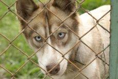 W Polsce husky są często oddawane do schronisk albo porzucane