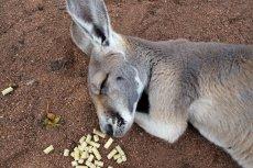 Dziwaczność kangurów to najlepszy dowód na to, że cała Australia to jedna wielka mistyfikacja. Przynajmniej dla zwolenników teorii spiskowych, w tej liczbie i płaskoziemców.
