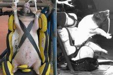 Spętane świnki uderzały w ścianę z prędkością prawie 50 km/h
