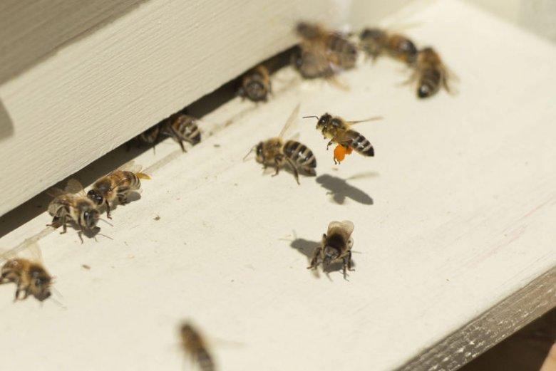 Maja informować ma pszczelarzy o wydarzeniach w ulu.