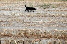 Tegoroczna susza przyprawia o ból głowy polskich rolników.