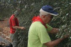 Włosi zaczynają zastępować cudzoziemców w pracach rolnych.