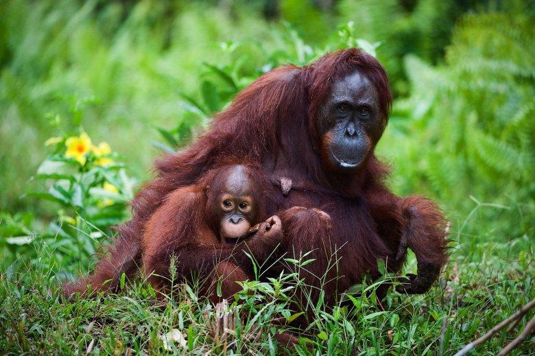 Przez wycinkę lasów tropikalnych, orangutany tracą siedliska. Szacuje się, że do 2020 r. wymrą te wszystkie dziko żyjące małpy