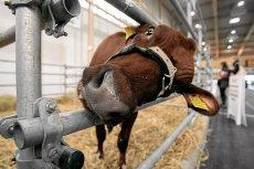 Mięsa z Polski nie ma komu badać - dramatycznie brakuje weterynarzy