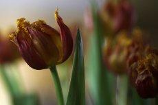 Ujawniono skandaliczny proceder w Amsterdamie, na słynnym targu kwiatowym Bloemenmarkt. Po przebadaniu 1364 cebulek tulipanów sprzedawanych turystom, tylko 14 rozkwitło.