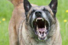 Właściciele agresywnych psów, którzy nie zachowali odpowiednich środków bezpieczeństwa, będą jeszcze surowiej karani.