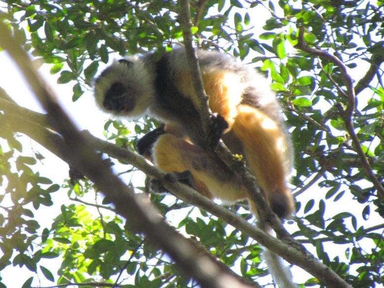 Lemur z rezerwatu Andasiebe, Moramanga.