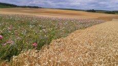 Francuska firma Mondelez, lider w branży słodyczy, wprowadza w Polsce program zrównoważonej produkcji pszenicy Harmony, polegający m.in. na sadzeniu na polach pszenicy łąk kwiatowych dla owadów. Czy polscy producenci pójdą za przykładem giganta?