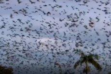 Tysiące nietoperzy zamieniło życie mieszkańców australijskiego Ingham w koszmar.