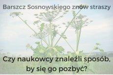 Czy naukowcy znaleźli sposób na barszcz Sosnowskiego?