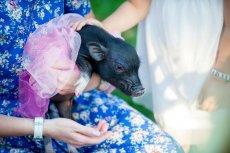 Dopóki świnka jest mała i słodka, euforia trwa.