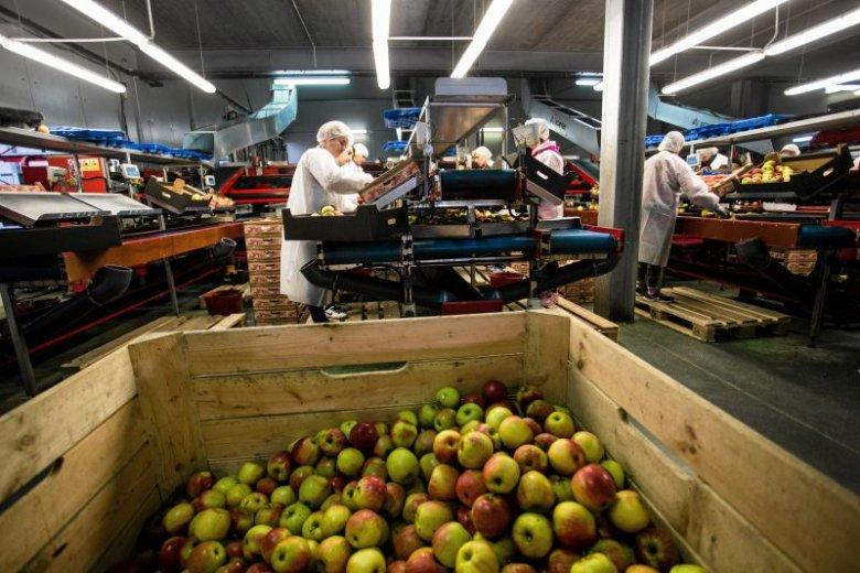 Choć obróbka owoców jest często zautomatyzowana, to zbiór jest nadal ręczny