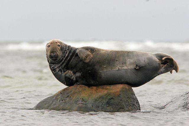 Foki w Polsce. W całym Bałtyku jest 30 000 fok. W Polsce żyje ledwie 100 - 200 sztuk.