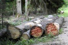 Min. Kowalczyk szykuje kolejną wojnę z UE? W Puszczy Białowieskiej w najlepsze trwają zakazane wycinki drzew