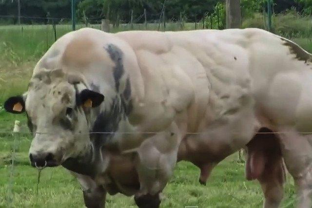 Najbardziej znaną rasą krów ze sztucznie uzyskanym przerostem mięśni jest rasa Belgian Blue