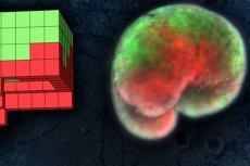Naukowcom udał się stworzyć pierwsze programowalne, żywe roboty. Na powyższym zdjęciu po lewej stronie widoczny jest anatomiczny plan organizmu zaprojektowanego komputerowo na superkomputerze UVM. Po prawej żywy organizm z żabich komórek macierzystych