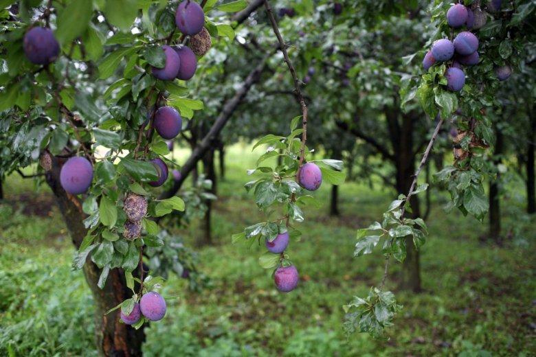 W tym roku nie będzie klęski nieurodzaju na rynku owoców - twierdzą producenci