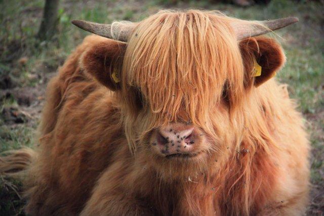 Dlaczego mięso szkockich krów jest jednak tak cenione? – Mięso tej rasy uchodzi za królewskie. Pachnie sianem i ziołami, czyli tym, co krowa je na pastwisku – zauważa Pilarski.