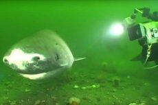 Rekiny grenlandzkie (Somniosus microcephalus) pochodzą z Arktyki i Północnego Atlantyku i mogą urosnąć do długości do 7 metrów, ważą do 1200 kilogramów.