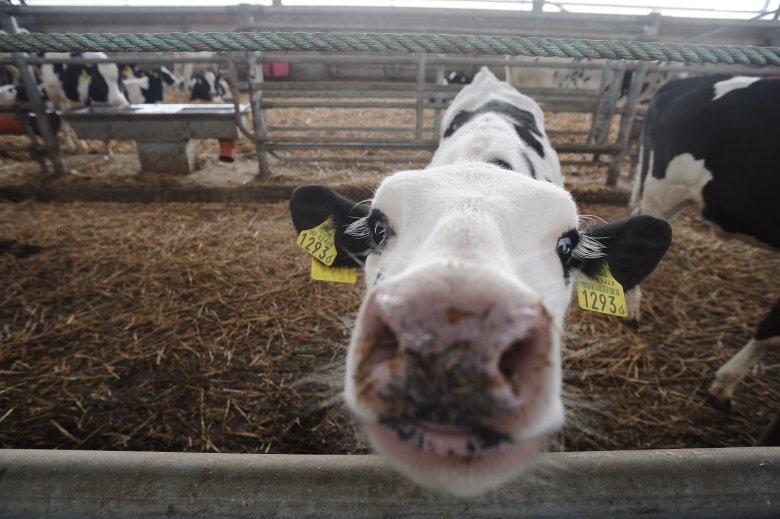 """Po aferze z polskimi """"leżakami"""", zagraniczni importerzy zaczynają obawiać się polskiej wołowiny."""