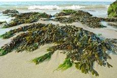 Algi paliwem przyszłości? W Polsce za 26 mln złotych powstało centrum, które zajmie się produkcją energii z alg