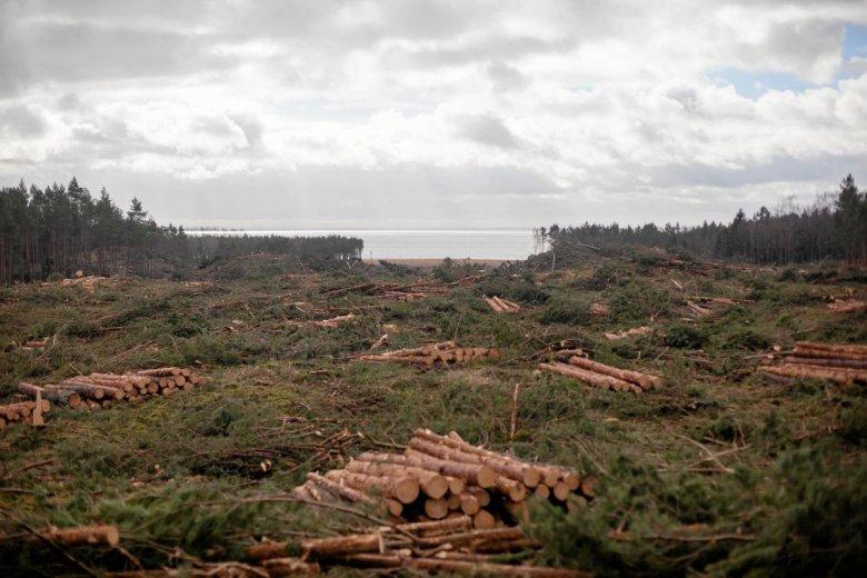 W miejscu wycinki pozostały tylko pnie i konary drzew.